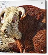Bull It Is What It Is Acrylic Print