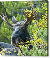 Bull Moose At Dusk Acrylic Print