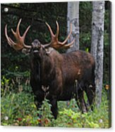 Bull Moose Flehmen Acrylic Print