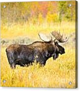Bull Moose In Autumn Acrylic Print