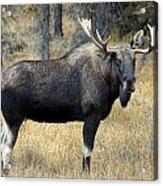 Bull Moose, Peter Lougheed Provincial Acrylic Print