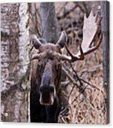Bull Moose Stare Down Acrylic Print