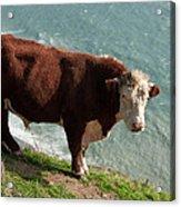Bull On The Edge Acrylic Print