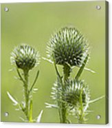 Bull Or Spear Thistle Buds- Cirsium Vulgare Acrylic Print
