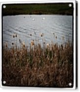 Bull Rushes And Swans Acrylic Print
