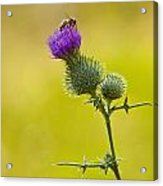 Bull Thistle With Bumble Bee Acrylic Print