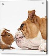 Bulldog & Guinea Pig Acrylic Print