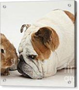 Bulldog And Lionhead-cross Rabbit Acrylic Print