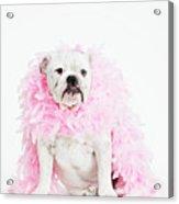 Bulldog Wearing Feather Boa Acrylic Print