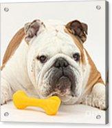 Bulldog With Plastic Chew Toy Acrylic Print by Mark Taylor