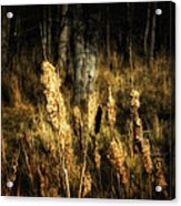 Bullrushes To Seed Acrylic Print