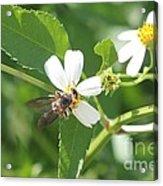 Bumble Bee 1 Acrylic Print