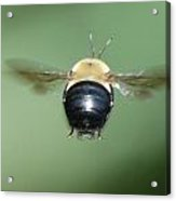 Bumble Bee 3 Acrylic Print