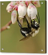 Bumble Bee And Blueberry Blossoms Acrylic Print