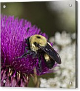 Bumble Bee And Bristle Thistle Acrylic Print