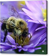 Bumble Bee And Fall Aster Acrylic Print