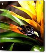 Bumble Bee Dart Frogs Acrylic Print