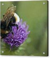 Bumble Bee II Acrylic Print