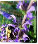 Bumble Bee On Flower Acrylic Print by Renee Trenholm