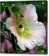 Bumble Bee Pollen Collector  Acrylic Print