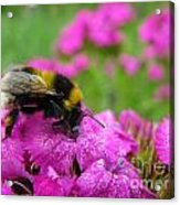 Bumble Bee Searching The Pink Flower Acrylic Print