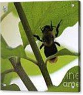 Bumble Bee Acrylic Print