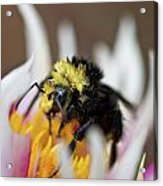 Bumblebee Attacking Flower Acrylic Print