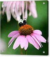 Bumblebee Bliss Acrylic Print