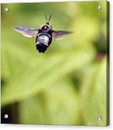 Bumblebee Midair Acrylic Print