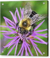 Bumblebee On A Purple Flower Acrylic Print