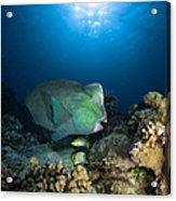 Bumphead Parrotfish, Australia Acrylic Print
