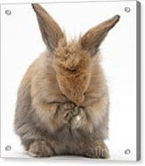 Bunny Grooming Acrylic Print
