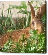 Bunny Playing Hide And Seek Acrylic Print by Maureen  McDonald