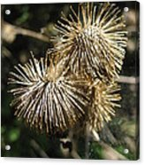 Burdock With Spiderweb Acrylic Print