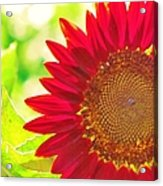 Burgundy Sunflower Acrylic Print