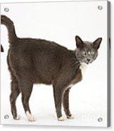 Burmese-cross Cat Acrylic Print