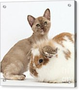 Burmese Kitten And Rabbit Acrylic Print