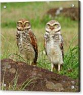Burrowing Owl Acrylic Print by Antonello