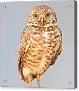 Burrowing Owl V Acrylic Print