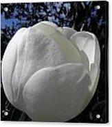 Bursting Magnolia Acrylic Print