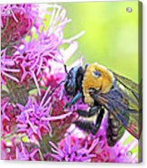 Busy As A Bee Acrylic Print by Becky Lodes