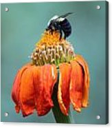 Busy Bee Acrylic Print by Marilyn West