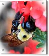 Busy Bee Acrylic Print by Maureen  McDonald