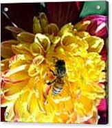 Busy Bee On Yellow Flower Acrylic Print