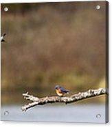 Busy Bluebirds - Three Overlooking The Lake Acrylic Print