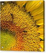 Busy Sunflower Acrylic Print
