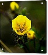 Butter Cup Acrylic Print