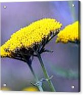 Butter Weeds Acrylic Print
