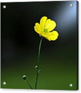Buttercup Buttercup All Alone In The World Acrylic Print