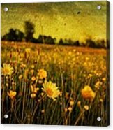 Buttercup Meadow Acrylic Print
